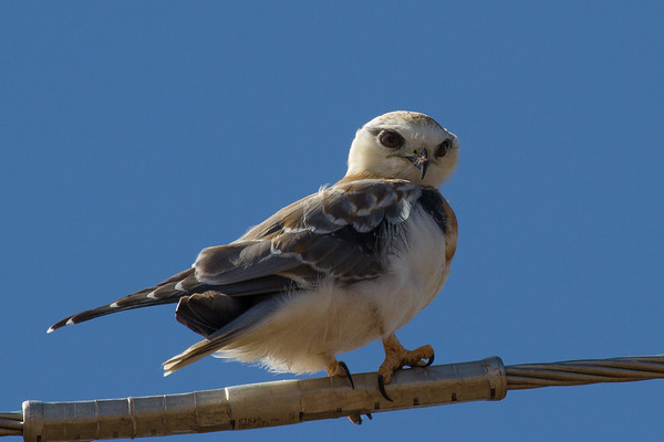 Black-shouldered Kite (Elanus axillaris) -Lockyer Valley, Queensland