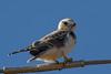 Black-shouldered Kite (Elanus axillaris) -Lockyer Valley, Queensland