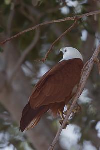 Brahminy Kite (Haliastur indus) - Darwin, Northern Territory