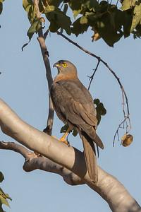 Brown Goshawk (Accipiter fasciatus) - Edith Falls, Northern Territory
