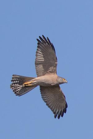 Collared Sparrowhawk (Accipiter cirrhocephalus) - Mareeba, Queensland