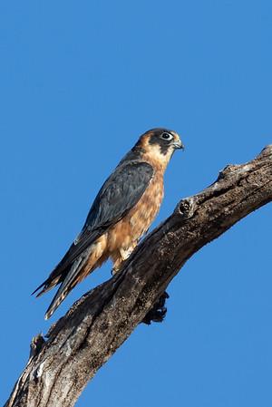 Australian Hobby (Falco longipennis) - Lake Cargelligo, New South Wales