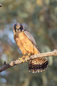 Australian Hobby (Falco longipennis) - Boulia, Queensland