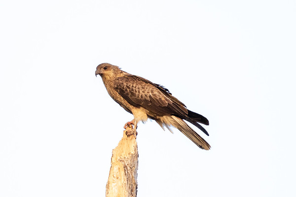 Whistling Kite (Haliastur sphenurus) -  Musgrave Roadhouse (Cape York), Queensland