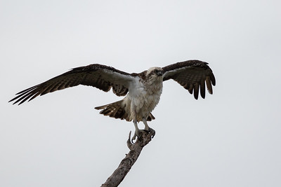 Osprey (Pandion haliaetus) - Herron Point, Western Australia