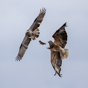 White-bellied Sea-Eagle (Haliaeetus leucogaster) + Osprey (gPandion haliaetus) - Herron Point, Western Australia