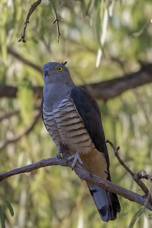 Pacific Baza (Aviceda subcristata) - Walkers Camp (Normanton), Queensland
