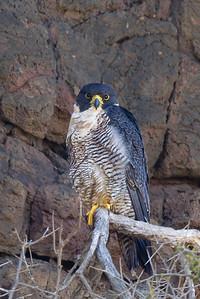 Peregrine Falcon (Falco peregrinus) - Clarkesdale, Victoria