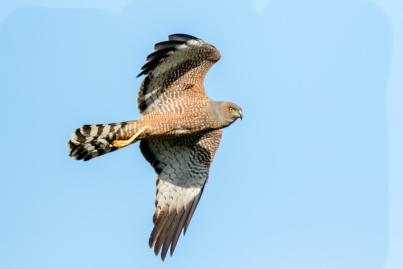 Spotted Harrier (Circus assimilis) - Anderson Creek (Longreach), Queensland