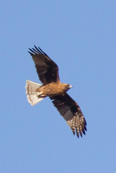 Square-tailed Kite (Lophoictinia isura) - Birdum, Northern Territory