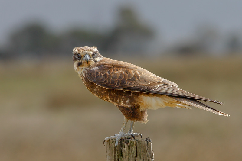 Brown Falcon (Falco berigora) - Werribee Treatment Plant, Victoria