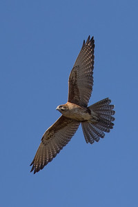 Brown Falcon (Falco berigora) - Clem Walton Reserve (Cloncurry), Queensland