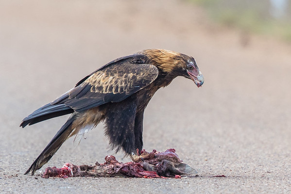 Wedge-tailed Eagle (Aquila audax) - Boulia, Queensland