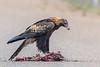 Wedge-tailed Eagle (Aquila audax) - Boulia, Queensland