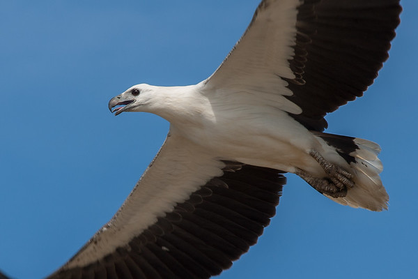 White-bellied Sea-Eagle (Haliaeetus leucogaster) - Mary River, Northern Territory