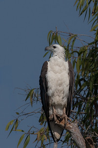 White-bellied Sea-Eagle (Haliaeetus leucogaster) - Corroboree Billabong, Northern Territory