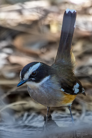Buff-sided Robin (Poecilodryas cerviniventris) - Lawn Hill National Park, Queensland