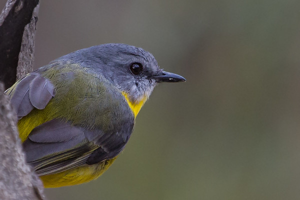 Eastern Yellow Robin (Eopsaltria australis) - Bartleys Block (Chiltern), Victoria