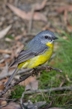 Eastern Yellow Robin (Eopsaltria australis) - Clarkesdale, Victoria