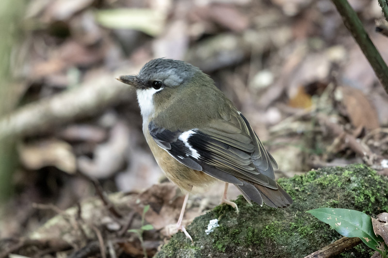 Grey-headed Robin (Heteromyias cinereifrons) -  Julatten, Queensland