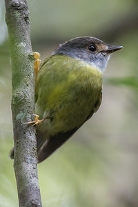 Pale-yellow Robin (Tregellasia capito) - Mt Hypipamee National Park, Queensland