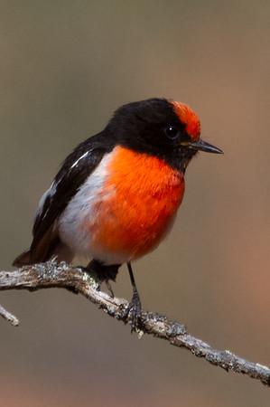 Red-capped Robin (Petroica goodenovii) - Gluepot, South Australia