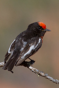 Red-capped Robin (Petroica goodenovii) - Gluepot, South Australia