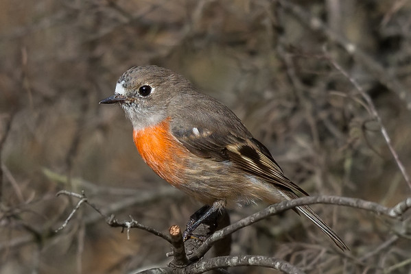 Scarlet Robin (Petroica boodang) - Clarkesdale, Victoria