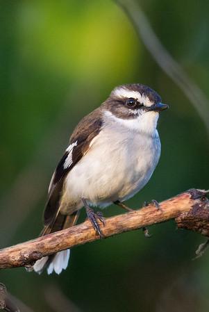White-browed Robin (Poecilodryas superciliosa) - Tyto Wetlands (Ingham), Queensland