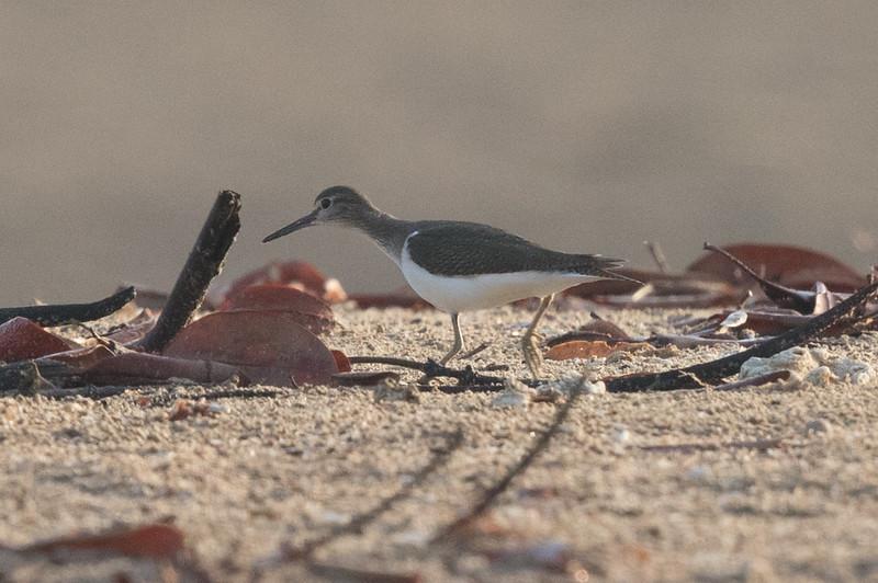 Common Sandpiper (Actitis hypoleucos) - Buffalo Creek (Darwin), Northern Territory