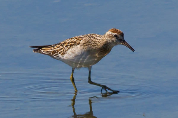 Sharp-tailed Sandpiper (Calidris acuminata) - Werribee Treatment Plant, Victoria