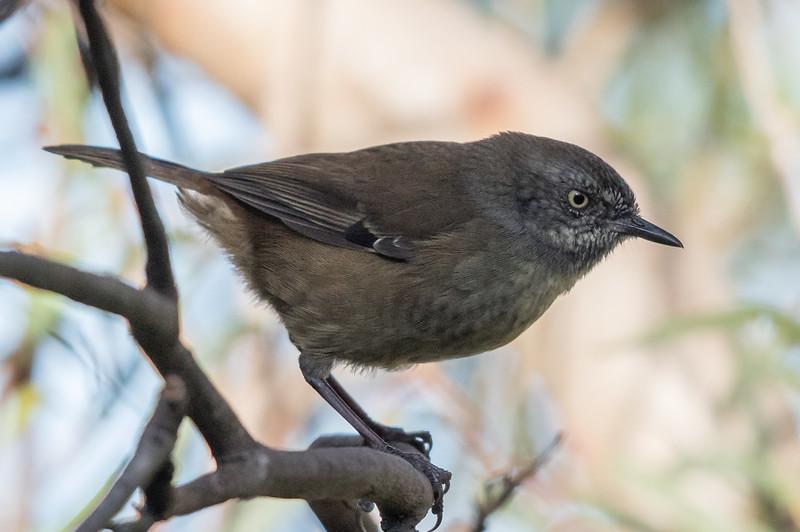 Tasmanian Scrubwren (Sericornis humilis) - Bay of Fires, Tasmania