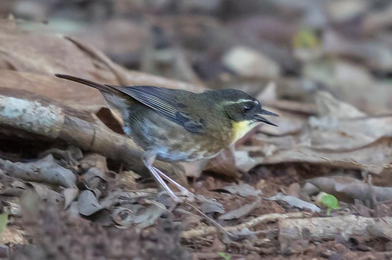 Yellow-throated Scrubwren (Sericornis citreogularis) - Malanda, Queensland
