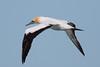 Australasian Gannet (Morus serrator) - North Bruny Beach (Bruny Island), Tasmania