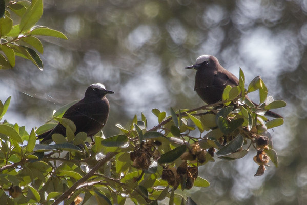 Black Noddy (Anous minutus) - Rocky Point Reserve (Hundred Acres), Norfolk Island