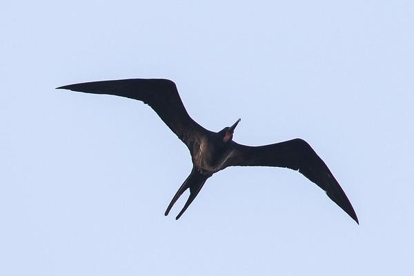 Lesser Frigatebird (Fregata ariel) - Chilli Beach (Cape York), gQueensland