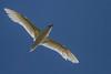 Red-tailed Tropicbird (Phaethon rubricauda) - Captain Cook Monument, Norfolk Island
