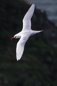 Red-tailed Tropicbird 'Bosunbird' (Phaethon rubricauda) - Captain Cook Monument, Norfolk Island