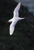 Red-tailed Tropicbird (Phaethon rubricauda) - Captain Cook Monument, Norfolk Island