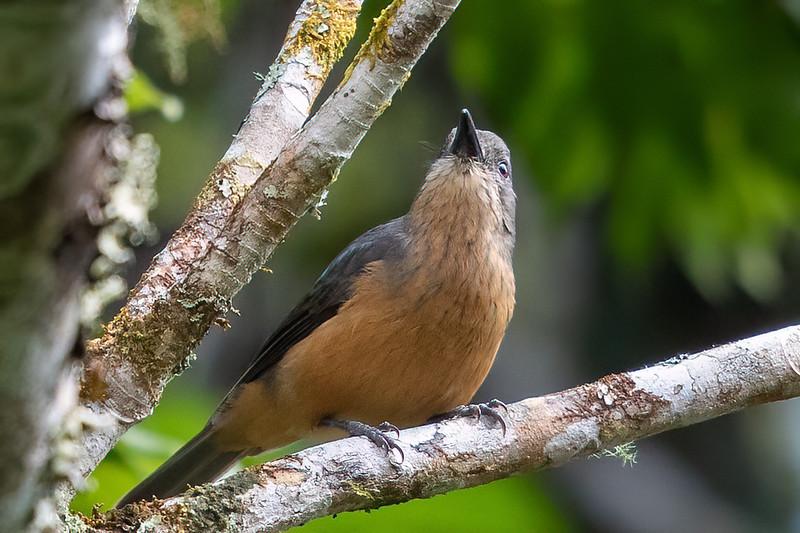 Bower's Shrike-thrush (Colluricincla boweri) - Lake Eacham, Queensland