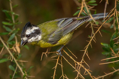Eastern Shrike-tit (Falcunculuc frontatus) - Capertee Valley, New South Wales