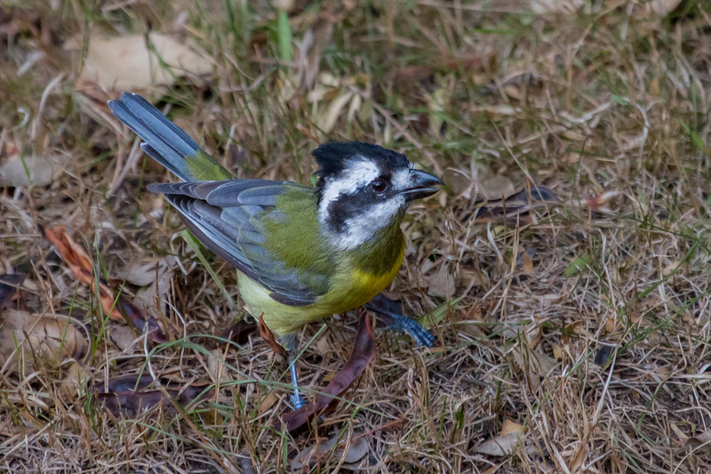 Crested Shrike-tit (Falcunculuc frontatus) - Capertee Valley, New South Wales