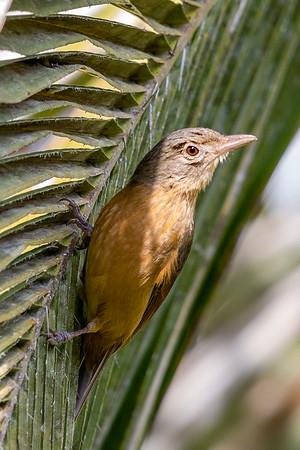 Little Shrike-thrush (Colluricincla megarhyncha) - Julatten, Queensland