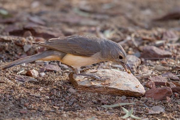 Grey Shrike-thrush (Colluricincla harmonica), - Ormiston Gorge, Northern Territory