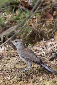 Grey Shrike-thrush (Colluricincla harmonica) - Clarkesdale, Victoria