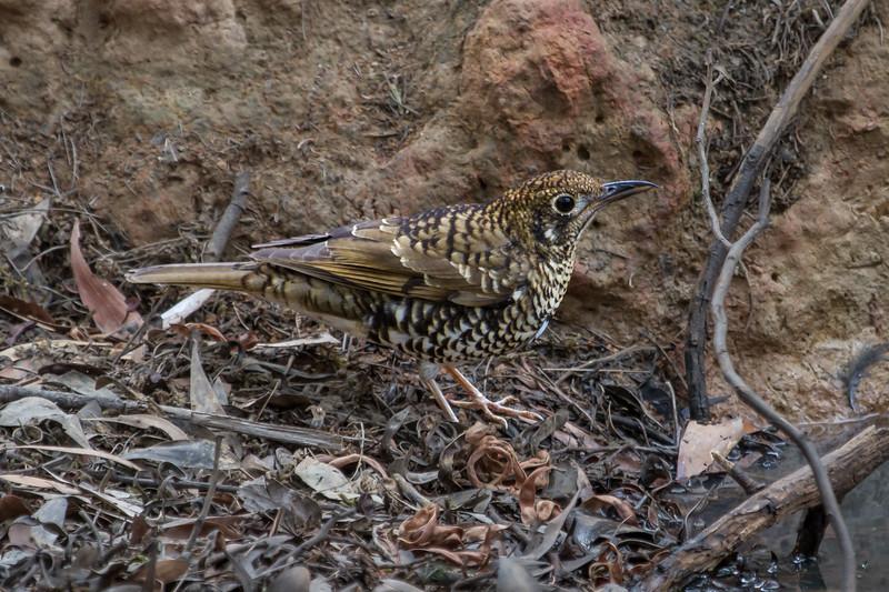 Bassian (Ground) Thrush (Zoothera Iunulata) - Clarkesdale, Victoria