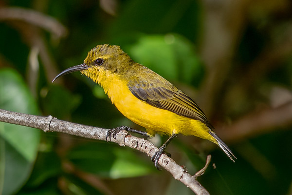 Olive-backed Sunbird (Cinnyris jugularis) - Umagico, Queensland