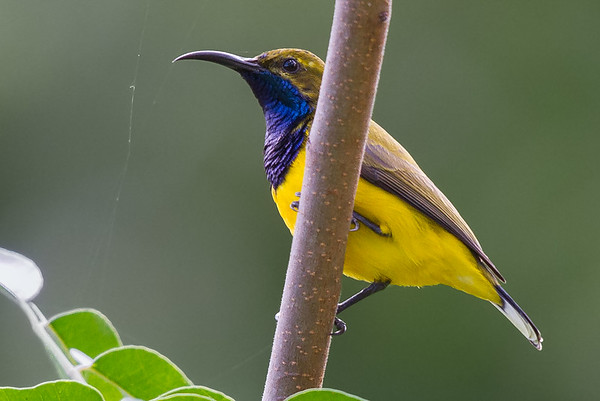 Olive-backed Sunbird (Cinnyris jugularis) - Botanic Gardens (Cairns), Queensland