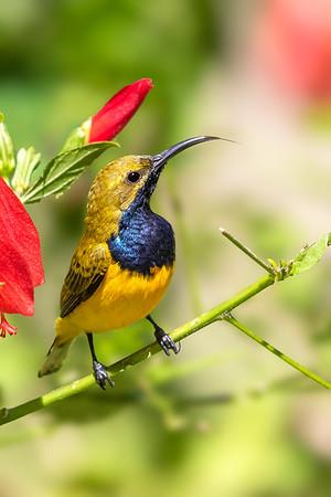 Olive-backed Sunbird (Cinnyris jugularis) - Julatten, Queensland