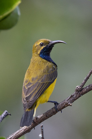 Olive-backed Sunbird (Cinnyris jugularis) - Mareeba, Queensland